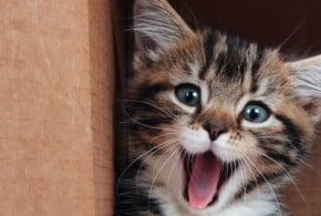 cat-adopt
